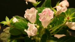 White Gloxinias Stock Footage