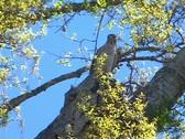 Pan of Cooper's Hawk Flying Away. Bird of Prey Stock Footage