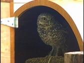Burrow Owl Winks Slyly Bird of Prey Stock Footage