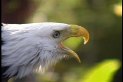 Eagle Being Vocal Bird of Prey - stock footage