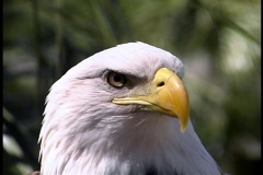 Eagle Looks Around Bird of Prey - stock footage