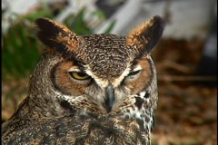 Great Horned Owl Keeps Watch Bird of Prey Stock Footage