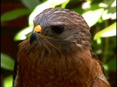 Red Shouldered Hawk Looks Around Bird of Prey Predator Tailed Stock Footage