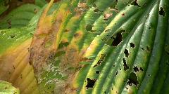 Hosta-undulata, Wellen-Funkie-Univittata in Autumn Stock Footage