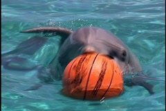 Dolphin Porpoise Takes Basket Ball Trick - stock footage