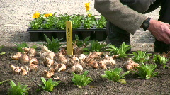 Gardener seedling farming gardening Tulips seed in field - stock footage