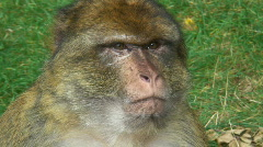 Portrait of a barbary ape - stock footage