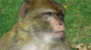 Portrait of a barbary ape Stock Footage