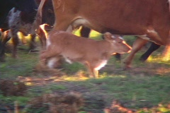 Cracker Calf Cow Cattle Walking with Herd. Bull Longhorn Cows Livestock Ranch  Stock Footage