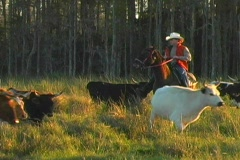 Driving Cattle Agricultural Ranch - stock footage