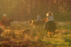 Cattle Drive At Sunset Ranch Agricultural  Stock Footage