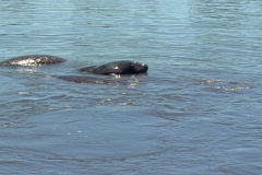 Mating Manatees in the Water Marine Mammal - stock footage