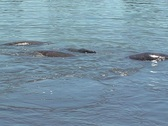 Mating Manatees in the Water Marine Mammal Stock Footage