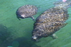 Pan of Mother and Calf Manatee Swimming By Stock Footage