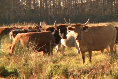 Long Horn Cattle on a Ranch Stock Footage