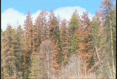 The environment, mountain pine beetle damaged trees, #2 Stock Footage