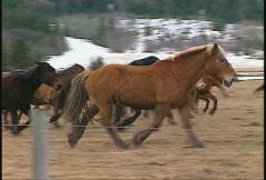 Horses light trot follow pan Stock Footage