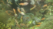 Sea Goldie, Pseudanthias Squamipinnis on a reef in the Philippines Stock Footage