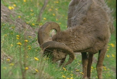 Mountain sheep graving on steep hill Stock Footage