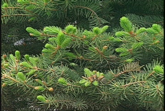 Pine tree young shoots Stock Footage
