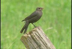 Blackbird on fence post Stock Footage