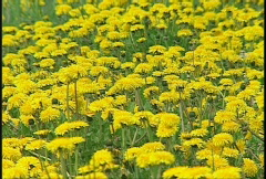 Dandelions, #8 zoom back Stock Footage