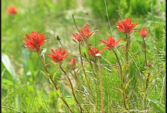 Flower, Indian Paintbrush, #2 Stock Footage