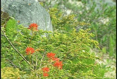 Flower, Indian paintbrush, #3 and juniper Stock Footage