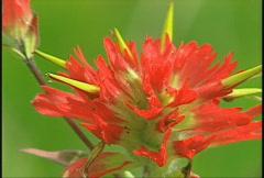Flower, Indian paintbrush, #1 Stock Footage