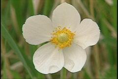 Prairie flower Stock Footage