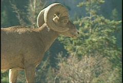 Wildlife, bighorn sheep, #1 Stock Footage
