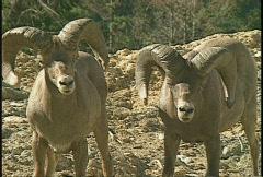 Wildlife, bighorn sheep, #3 Stock Footage