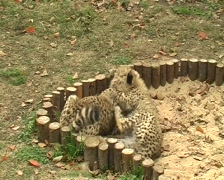 Cheetah baby Stock Footage