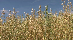 Crop of oats growing in a farm field in Northamptonshire England - stock footage