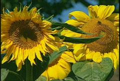Sunflowers, #2 Stock Footage