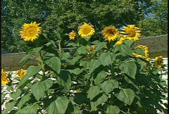 Sunflowers, #3 Stock Footage