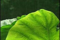 Rain big green leaf Stock Footage