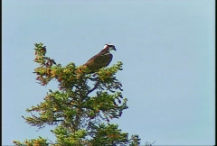 Osprey on tree top #2 Stock Footage