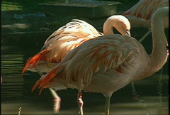 Flamingos, #4 Stock Footage