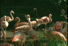 Flamingos, #3 Stock Footage