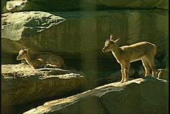 Ibex, mountain animal Stock Footage