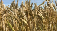 Stock Video Footage of Crop of wheat growing in a farm field in Northamptonshire England
