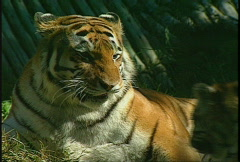 Tigers playing, #4 Stock Footage