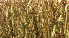 Crop of wheat growing in a farm field in Northamptonshire England - stock footage