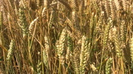 Crop of wheat growing in a farm field in Northamptonshire England Stock Footage
