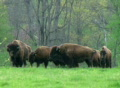 American Buffalo Grazing SD Footage