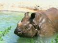 Rhinoceros Bathing Footage