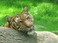 Siberian Tiger Close-up Footage