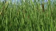 Reeds blowing in the wind Stock Footage
