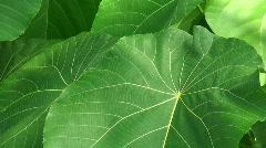 Big leafs Stock Footage